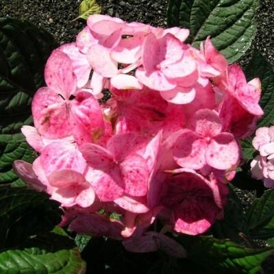 Hydrangea serrata 'Preziosa' - Salgshøjde: 20-50 cm. - Hortensia