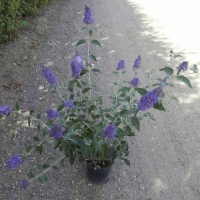 Buddleia davidii 'Lochinch' - Salgshøjde: 35-80 cm. - Sommerfuglebusk