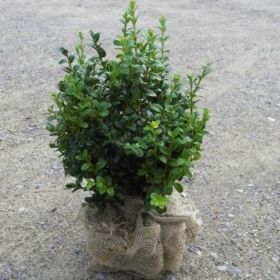 Buxus sempervirens 'Nopur' - Salgshøjde: 25-40 cm.  - Alm. Buksbom