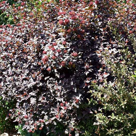 Physocarpus opulifolius 'Diabolo' - Salgshøjde: 50-80 cm. - Blærespiræa