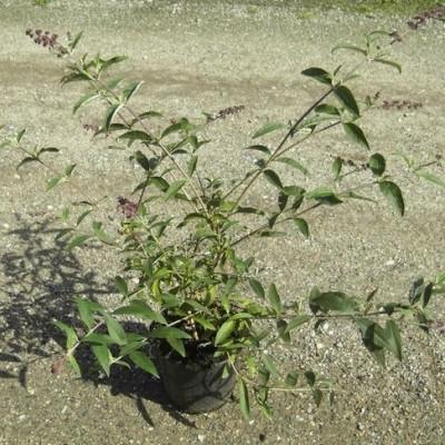 Buddleia davidii 'Royal Red' - Salgshøjde: 35-80 cm. - Sommerfuglebusk (NP-GC)
