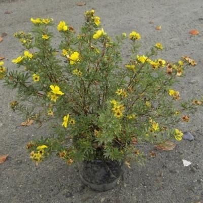 Potentilla fruticosa 'Goldfinger' - Salgshøjde: 30-50 cm. - Gul Potentilla