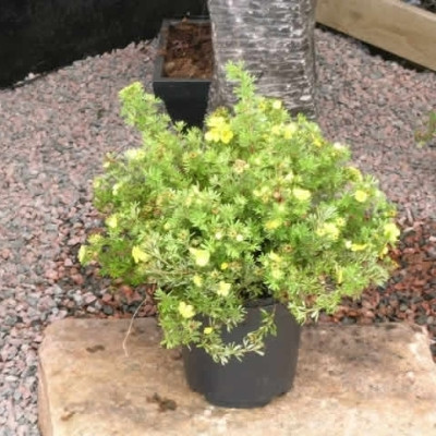 Potentilla fruticosa 'Kobold' (Gul Potentilla) H: 30-50 cm.