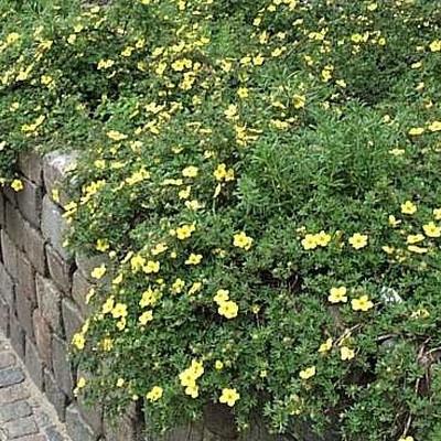 Potentilla fruticosa 'Longacre' (Gul Potentilla) 25-40 cm