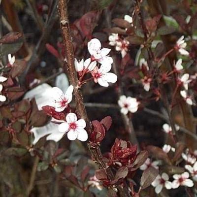 Prunus cistena - Salgsh��jde: 30-50 cm. - Dværgblodblomme