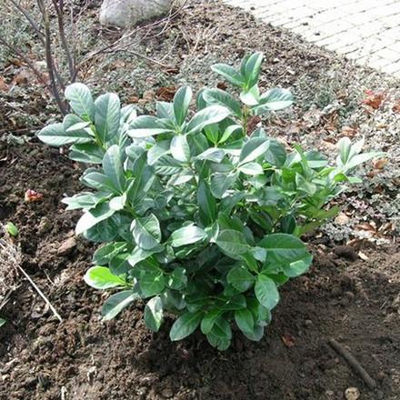 Prunus laurocerasus 'Etna' - Salgshøjde: 50-60 cm. - Kirsebærlaurbær