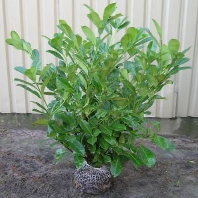 Prunus laurocerasus 'Prutondi',  - Salgshøjde: 40-60 cm. - Kirsebærlaurbær