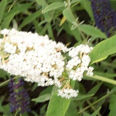 Buddleia davidii 'White Bouquet' - Salgshøjde: 35-80 cm. - Sommerfuglebusk (NP)