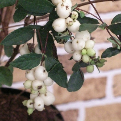 Symphoricarpos doorenbosii 'White Hedge' (Snebær) 30-50 cm.