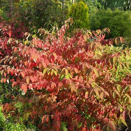 Viburnum plicatum 'Mariesii' (Snebolle) H: 30-40 cm.
