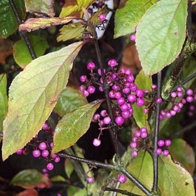 Callicarpa bodinieri 'Profusion'    - Salgshøjde: 40-70 cm. - Glasbær(NP-GC)
