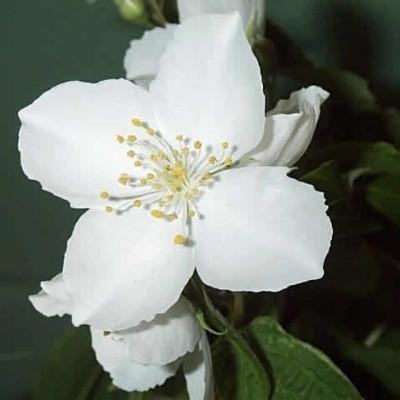Philadelphus purpureo-hybrid 'Silberregen',  - Salgshøjde: 30-50 cm - Uægte Jasmin