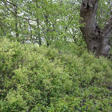 Ribes alpinum 'Dima' - Salgshøjde: 30-50 cm. - Fjeldribs