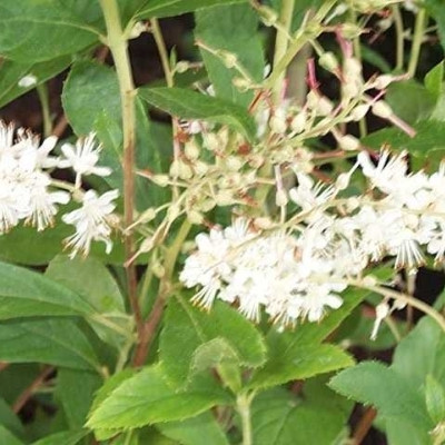 Clethra alnifolia 'Clea' - Salgshøjde: 40-50 cm. (GC)
