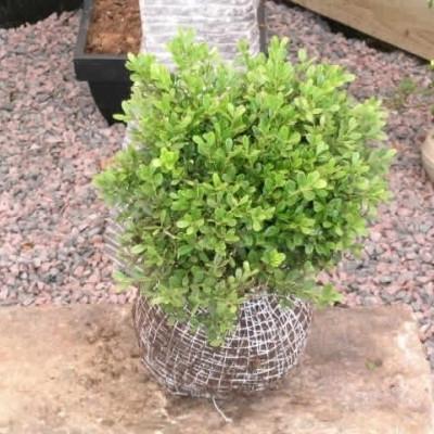 Buxus microphylla 'Mimer'  - Salgshøjde: 20-30 cm. (NP)