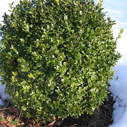 Buxus sempervirens - Salgshøjde: 12-15 cm. (9 cm. potter) (NP)