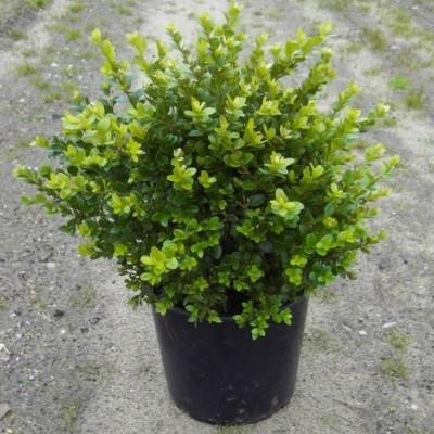 Buxus sempervirens 'Faulkner' - Salgshøjde: 25-30 cm. - Buksbom