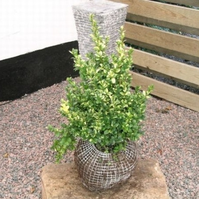 Buxus sempervirens 'Rotundifolia Aurea' - Salgshøjde: 30-40 cm. (NP)