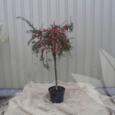 Cotoneaster dammeri 'Coral Beauty' - Stammehøjde: 60 cm. - Dværgmispel