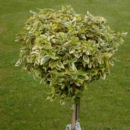 Euonymus fortunei 'Emerald Gold' - Stammehøjde: 80 cm. - Benved