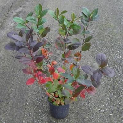 Aronia melanocarpa 'Aron' - Salgshøjde: 40-60 cm. -Surbær  (NP-GC)