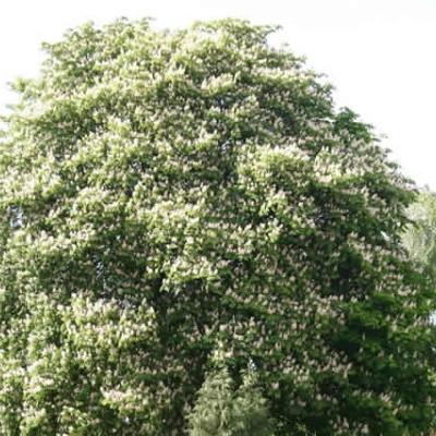 Aesculus hippocastanum - Salgsstr.:  150-200 cm. - Alm. Hestekastanie