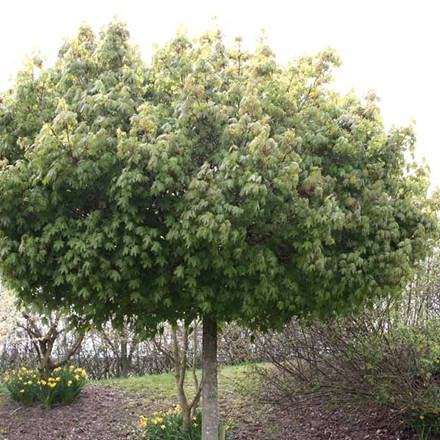Acer platanoides 'Globosum' - Salgsstr.:   10 - 12  stammehøjde: 200 cm  - Kugleløn, Kugleahorn