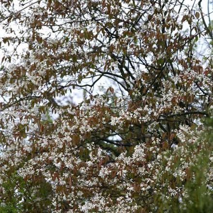 Amelanchier arborea 'Robin Hill' - Salgsstr.:   12 - 14  - Bærmispel