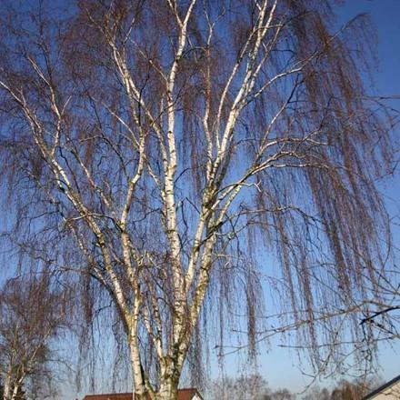 Betula pendula 'Tristis' (Bøgh's Varietet) - Salgsstr.: 12-14 - Hængebirk