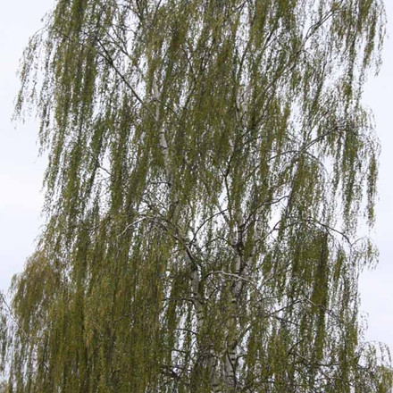 Betula pendula 'Tristis' (Bøgh's Varietet) - Salgsstr.:  175-250 cm.  - Hængebirk
