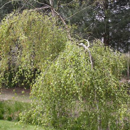 Betula pendula 'Youngii' - Salgsstr.:  175-200 cm. - Sørgebirk
