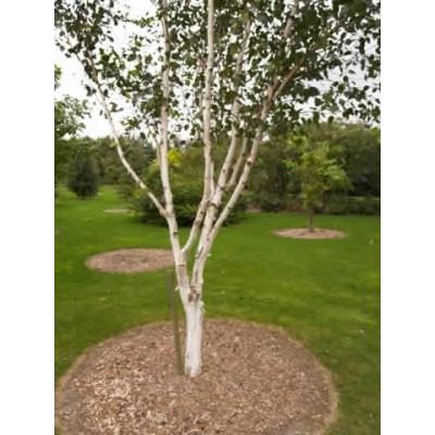 Betula utilis - Salgsstr.:  200-300  cm. - Himalayabirk