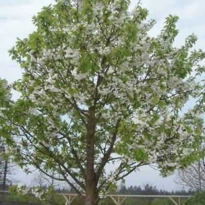 Prunus avium 'Plena' - Salgsstr.:  16-18 - Fuglekirsebær