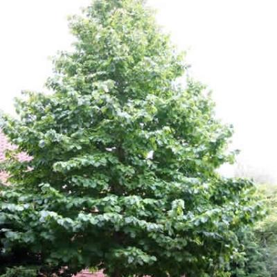 Corylus colurna Salgsstr. 125-200 cm. - Tyrkisk Hassel