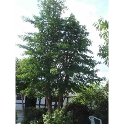 Ginkgo biloba - Salgsstr.:  150-175 cm. - Tempeltræ