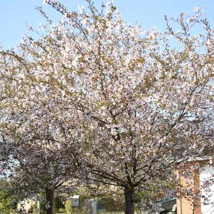 Prunus 'Hally Jolivette' - Salgsstr.: 8-10 - Prydkirsebær