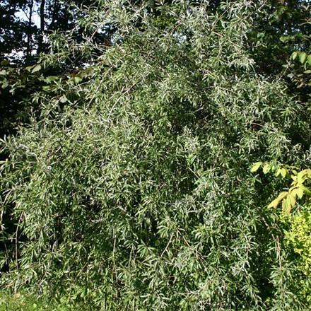 Pyrus salicifolia 'Pendula' - Stammehøjde:  120 cm. - Pilebladet Pære