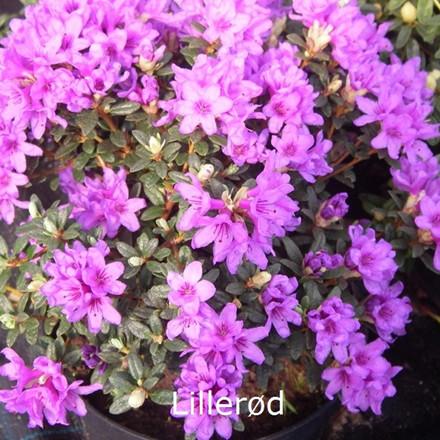 Rhododendron Småbl. anthopogon 'Lillerød'  - Salgshøjde: 20-25 cm.