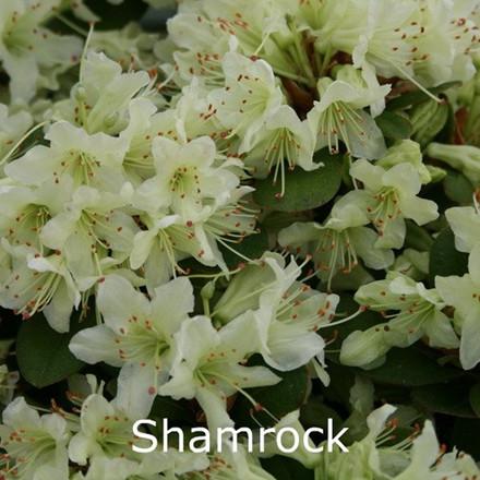 Rhododendron hybrida 'Shamrock' (Småblomstrende) - Salgshøjde: 25-30 cm.