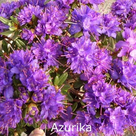 Rhododendron  impeditum 'Azurika' (Småblomstrende) - Salgshøjde: 20-30 cm.