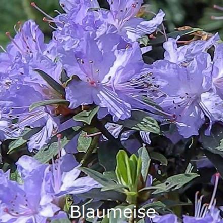 Rhododendron Småbl. impeditum 'Blaumeise'    - Salgshøjde: 25-30 cm.