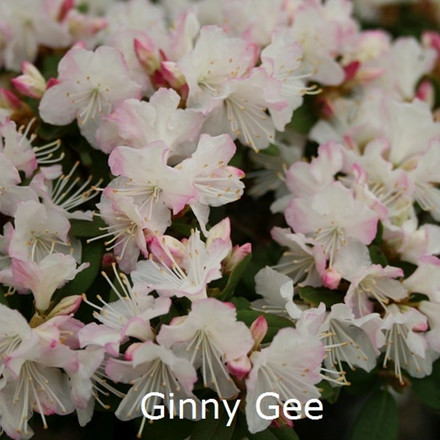 Rhododendron keiskei 'Ginny Gee' (Småblomstrende) - Salgshøjde: 20-30 cm.