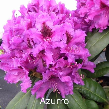 Rhododendron 'Azurro' (Storblomstrende) - Salgshøjde: 30-40 cm.