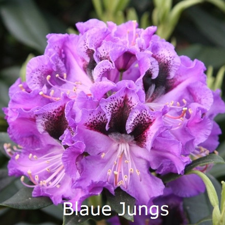Rhododendron 'Blaue Jungs' (Storblomstrende) - Salgshøjde: 30-40cm.