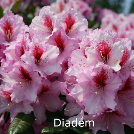 Rhododendron 'Diadem' (Storblomstrende) - Salgshøjde: 30-50 cm.