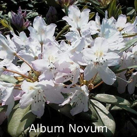 Rhododendron 'Catawbiense Album Novum' (Storblomstrende) - Salgshøjde: 30-40 cm.