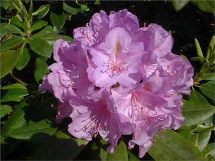 Rhododendron Storbl. 'Catawbiense Boursault'   - Salgshøjde: 40-50 cm. (BA)