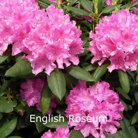 Rhododendron 'English Roseum' (Roseum Elegans) (Storblomstrende) - Salgshøjde: 30-40 cm.