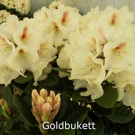 Rhododendron 'Goldbukett' (Storblomstende) - Salgshøjde: 30-40 cm.