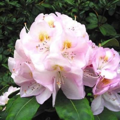 Rhododendron 'Gomer Waterer' (Storblomstrende) - Salgshøjde: 30-40 cm.